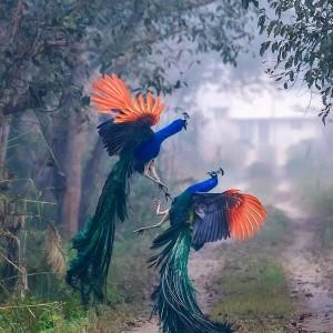 Peacocks Fighting
